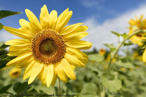 Flowering sunflowers in a field against a blue sky Print by Sergii Petruk