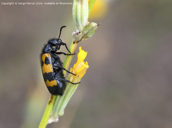 Yellow-black beetle is located on a field flower to have lunch Print by Sergii Petruk