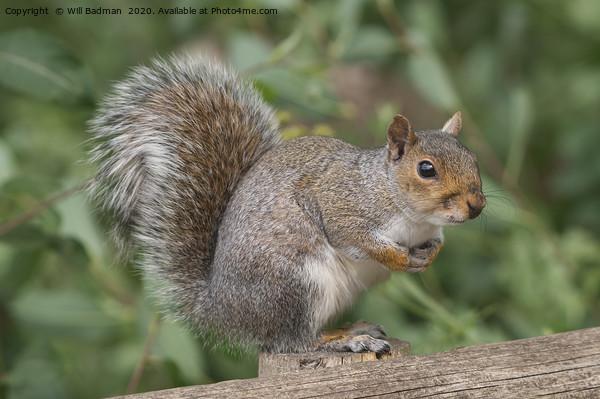 Grey Squirrel on a fence Acrylic by Will Badman