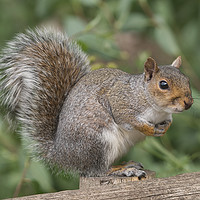 Buy canvas prints of Grey Squirrel on a fence by Will Badman