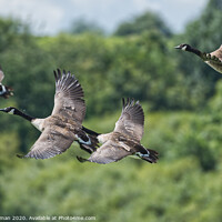 Buy canvas prints of Flying Canadian Geese  by Will Badman