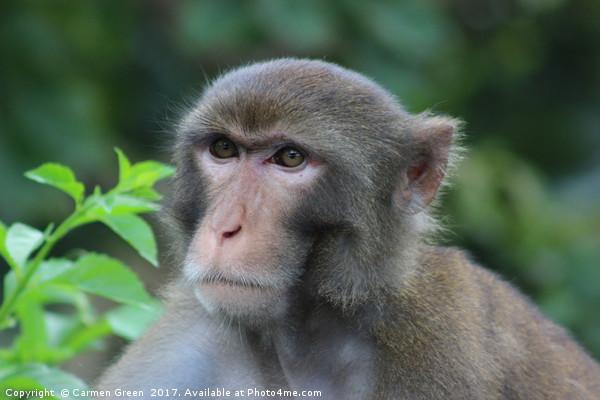 Macaque at Kam Shan Country Park, Hong Kong Framed Print by Carmen Green