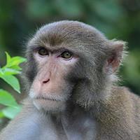 Buy canvas prints of Macaque at Kam Shan Country Park, Hong Kong by Carmen Green