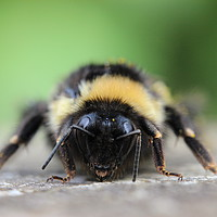 Buy canvas prints of Bumblebee at rest by Carmen Green