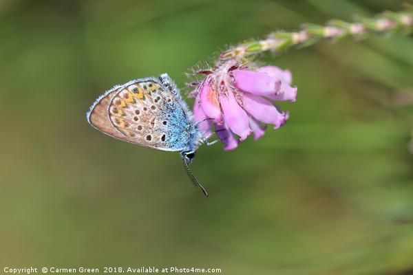 Silver-studded blue butterfly  Framed Print by Carmen Green