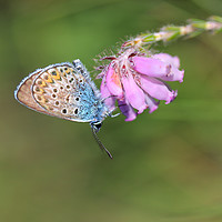 Buy canvas prints of Silver-studded blue butterfly  by Carmen Green