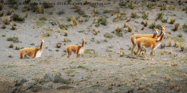 Andean Llamas Canvas print by Alexandre Rotenberg