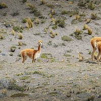 Buy canvas prints of Andean Llamas by Alexandre Rotenberg