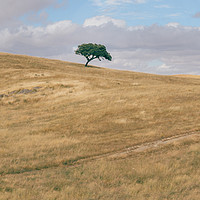 Buy canvas prints of Oak tree on Alentejo Landscape, Portugal by Alexandre Rotenberg