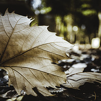 Buy canvas prints of Dry leaf on the forest by Juan Ramón Ramos Rivero