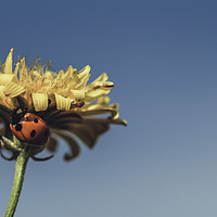 Buy canvas prints of Ladybird on a sunny yellow daisy flower low angle  by Juan Ramón Ramos Rivero