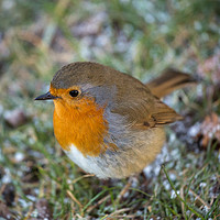 Buy canvas prints of Winter Robin by Aidan Mincher