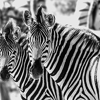 Buy canvas prints of Zebras by Genevieve HUI BON HOA