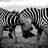 Buy canvas prints of Zebras Playing by Travelling Photographer