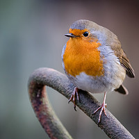 Buy canvas prints of Robin by Paul Wiles