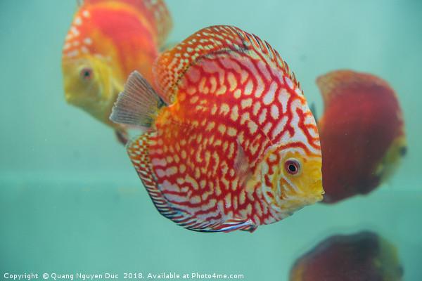 Aquarium Orange Spotted Fish Cicus  Canvas print by Quang Nguyen Duc
