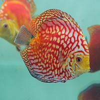 Buy canvas prints of Aquarium Orange Spotted Fish Cicus  by Quang Nguyen Duc