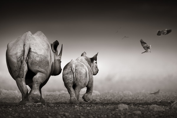 Black Rhinoceros cow with calf  Canvas print by Johan Swanepoel