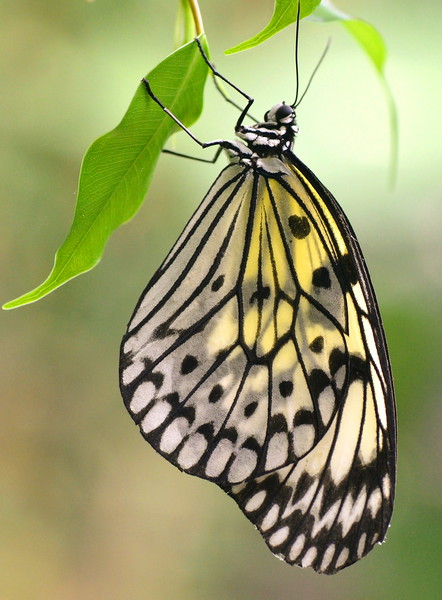 Tree Nymph Butterfly Canvas print by David Neighbour