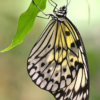 Buy canvas prints of Tree Nymph Butterfly by David Neighbour