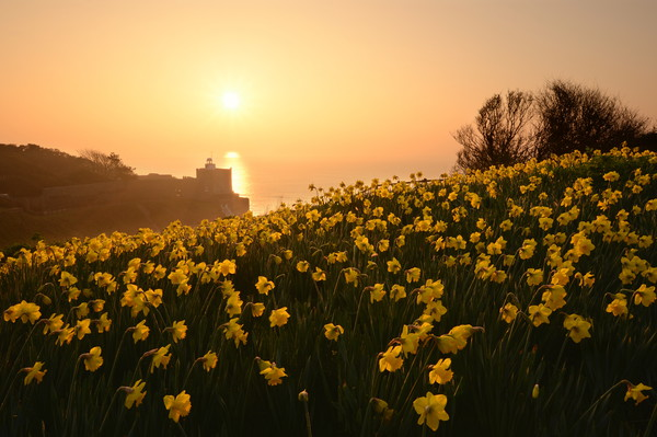 Daffodils of Sidmouth Canvas print by David Neighbour