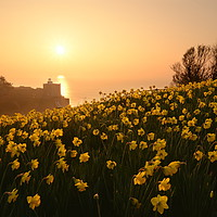 Buy canvas prints of Daffodils of Sidmouth by David Neighbour
