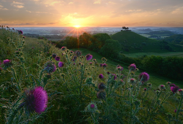 Thistles of Quarry Hill Canvas print by David Neighbour