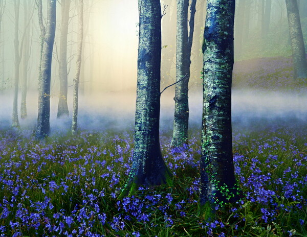 Low Mist in a Bluebell Wood Print by David Neighbour