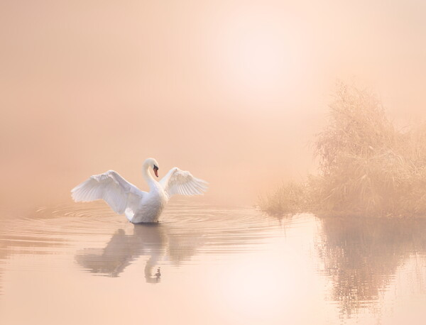 Soft Pink Swan Framed Mounted Print by David Neighbour