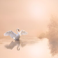 Buy canvas prints of Soft Pink Swan by David Neighbour