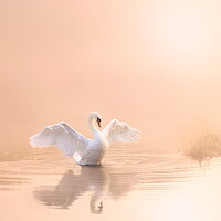 Buy canvas prints of Soft Pink Swan Portrait by David Neighbour