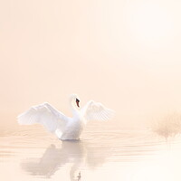 Buy canvas prints of Softest Baby Pink Swan Portrait. by David Neighbour