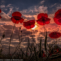 Buy canvas prints of Sunset poppies at Ackworth, West Yorkshire by Tim Hill