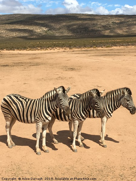 Three Zebras in South Africa Canvas print by Ailsa Darragh