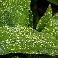 Buy canvas prints of Broad leaf plant with water droplets by Clive Well by Clive Wells