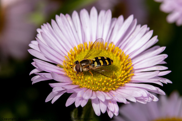 Hoverfly on flower Canvas print by Clive Wells
