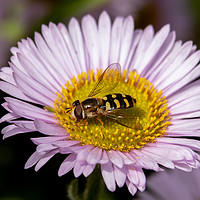 Buy canvas prints of Hoverfly on flower by Clive Wells
