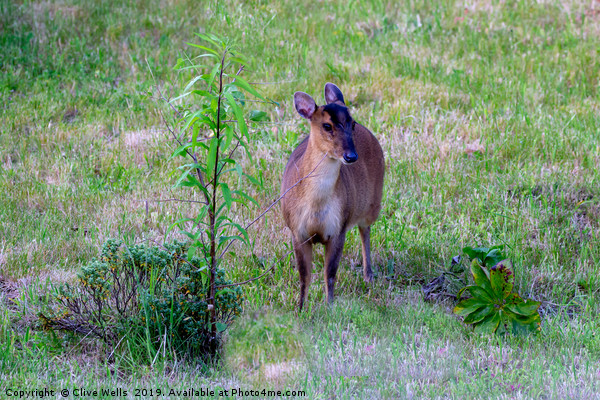 Muntjac in garden Canvas print by Clive Wells