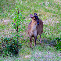 Buy canvas prints of Muntjac in garden by Clive Wells
