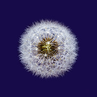 Buy canvas prints of Isolated Dandelion seed head wioth dew drops by Phill Thornton