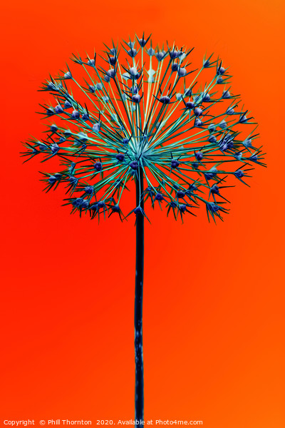 Abstract Allium No.5 Framed Mounted Print by Phill Thornton