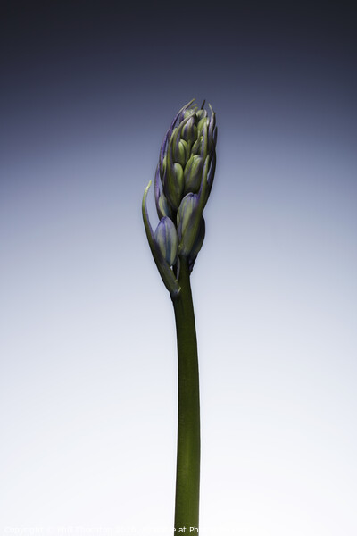 The beautiful british Bluebell just before it blossoms No. 3 Framed Print by Phill Thornton