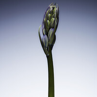Buy canvas prints of The beautiful british Bluebell just before it blossoms No. 3 by Phill Thornton
