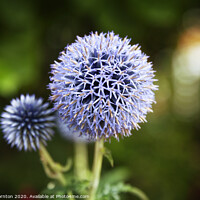 Buy canvas prints of Close up of Blue Allium flower  growing outside by Phill Thornton
