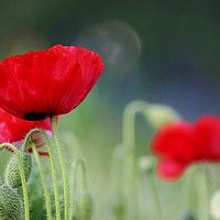 Buy canvas prints of Beautiful Poppies by Susan Snow