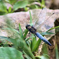 Buy canvas prints of Broad-Bodied Chaser Dragonfly by Susan Snow