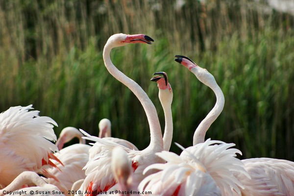 Playful Greater Flamingos Canvas print by Susan Snow