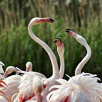 Buy canvas prints of Playful Greater Flamingos by Susan Snow