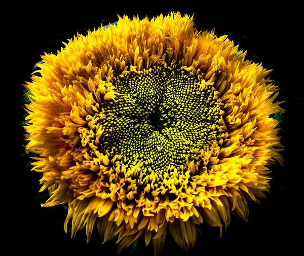 Sunflower Canvas print by Neil Hill