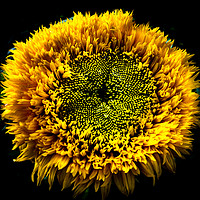 Buy canvas prints of Sunflower by Neil Hill